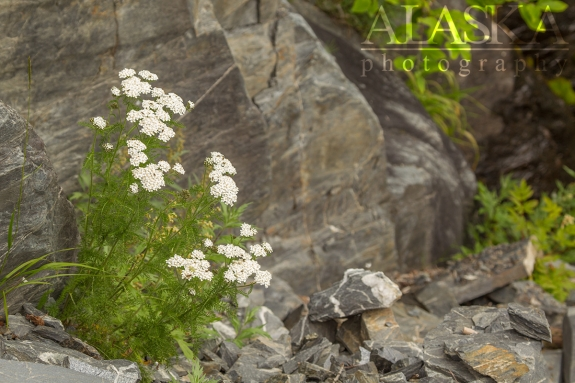 Yarrow grows in the mountain side near Valdez Glacier.