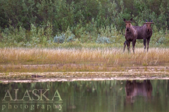 A cow moose and her bull calf come out to feed along the shores and in the shallows of the west end of Quartz Lake.