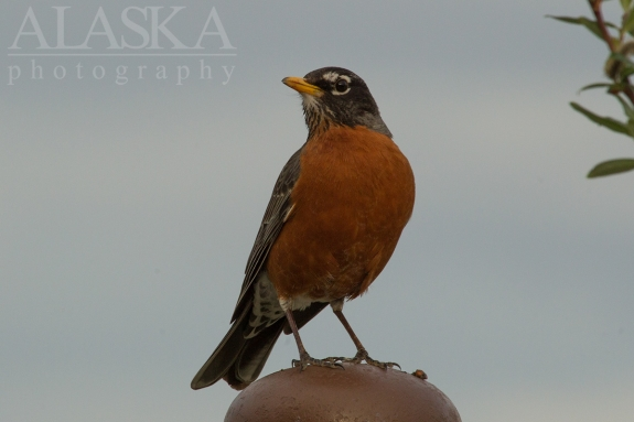 An American robin stands on a post in Talkeetna.