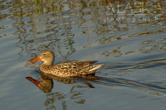A Northern Shoveler swims in the ponds near Goldstream Creek.