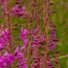 Fireweed of Valdez