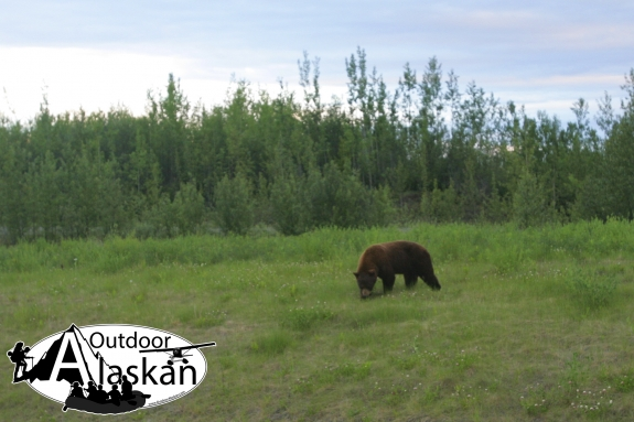 Cinnamon black bear are often mistaken as brown bears (grizzlies) to those not familiar with bears. Note the smooth back. Brown bears have a large hump near the front shoulder blades.