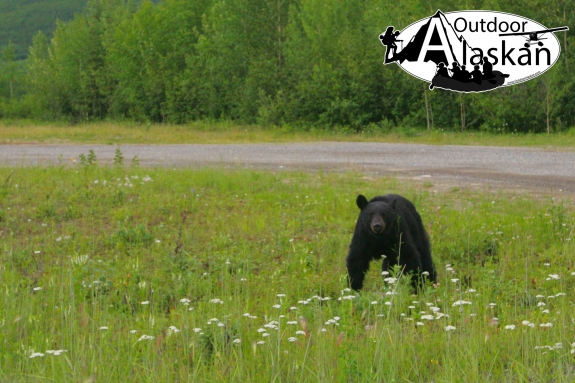 This black bear stops from grazing to figure out what we were up to. Then he went back to grazing.