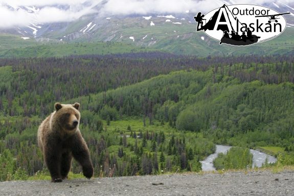 A female grizzly along the Haines Highway, same one as in other photo with cub along highway.
