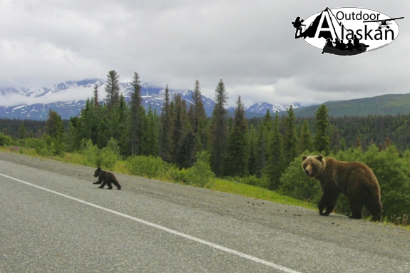 A sow Grizzly and her cub walk along the Haines Highway while foraging along the roadside.