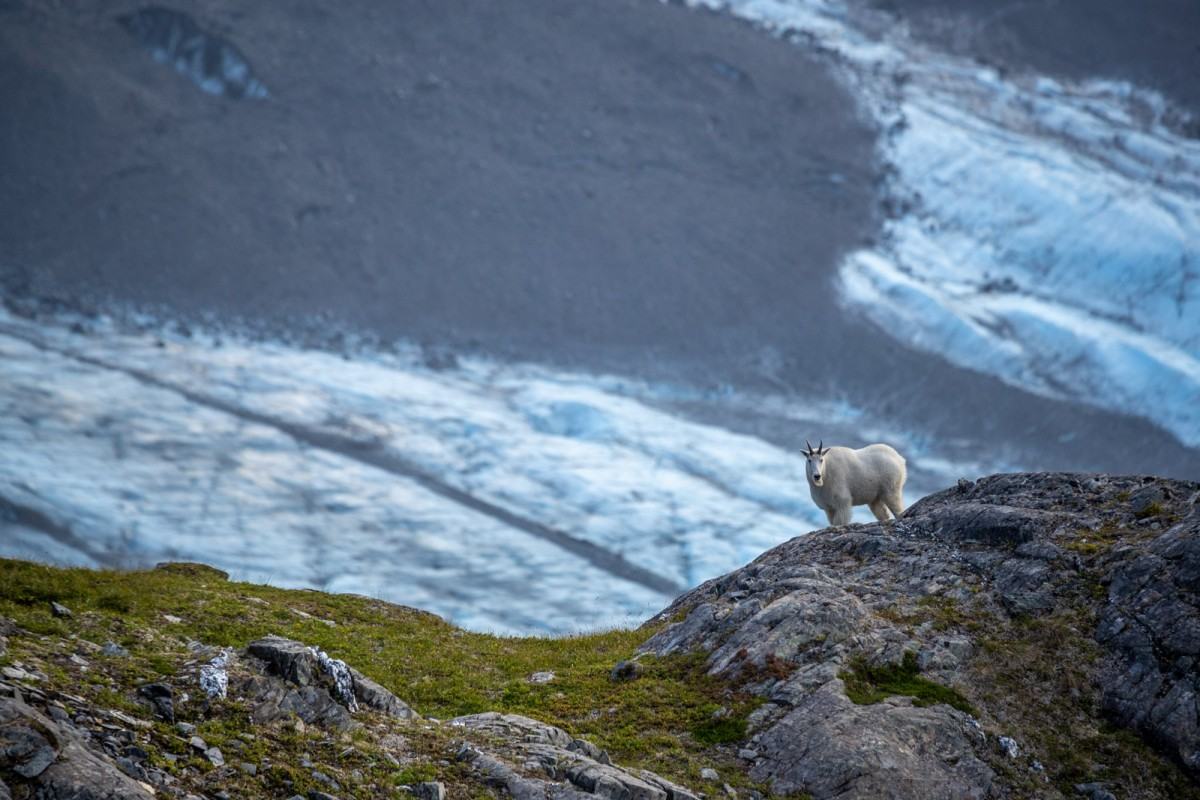 A mountain goat passes below us, with a glacier far in the background.
